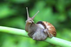 Escargot de cordon africain géant Image libre de droits