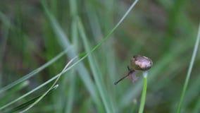 Escargot de danse sur la feuille d'herbe banque de vidéos