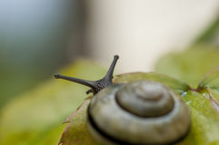 Escargot de jardin image stock