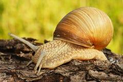 Escargot de jardin Photo libre de droits