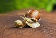 Escargot de jardin (aspersa d'hélice) avec son bébé Photo stock