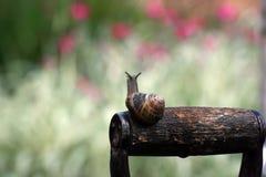 Escargot de jardin (aspersa d'helice) Photos libres de droits