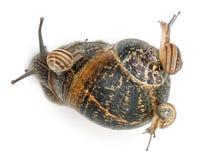 Escargot de jardin avec ses chéris sur son interpréteur de commandes interactif Images libres de droits