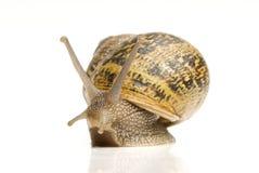 Escargot de jardin commun images libres de droits