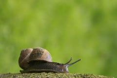 Escargot de jardin sur un branchement Image libre de droits