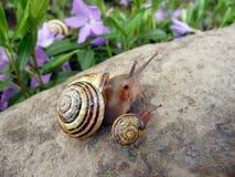 Escargot de mère avec la chéri Photo stock
