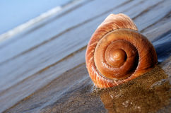 Escargot de mer Photo stock