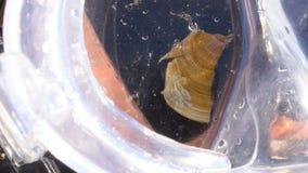 Escargot de mer de bébé, seahare d'aplysie dans le masque de plongée banque de vidéos