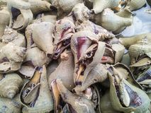 Escargot de mer de conque Photos stock