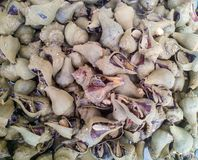 Escargot de mer de conque Photo libre de droits