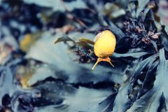 Escargot de mer frôlant sur des algues Photographie stock