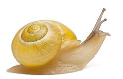 Escargot de plantation ou escargot brun-labié sans obscurité Images libres de droits