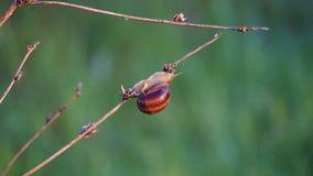 Escargot de raisin dans l'herbe au lever de soleil photos stock