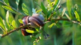 Escargot de raisin dans l'herbe au lever de soleil photos libres de droits