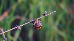 Escargot de raisin dans l'herbe au lever de soleil image stock