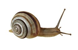 Escargot de rampement sur le fond blanc Photographie stock