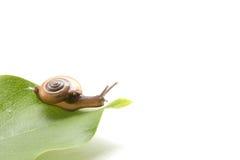 Escargot de Sarika - escargot de terre en Thaïlande Images stock
