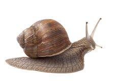 Escargot de terre