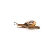 Escargot de terre, parasite d'escargot de Sarika d'orchidée, devant le backg blanc Image stock