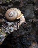Escargot de terre rampant sur le rebord humide de roche et regardant vers le bas Images stock