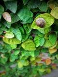 Escargot de vert de feuille de Wallleaves Photos stock
