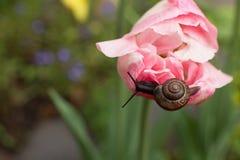 Escargot de voyageur rampant sur une tulipe image libre de droits