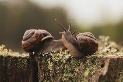 Escargot deux caressant sur le tronçon Images libres de droits