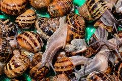 Escargot do caracol comest?vel fotografia de stock