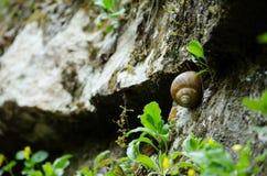 Escargot en gorge Image libre de droits