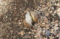 Escargot en Shell Turning Over images stock