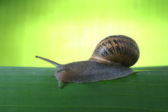 Escargot en vert Images stock