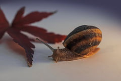 Escargot et feuille d'érable japonais Image libre de droits