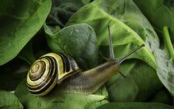 Escargot et le mur des épinards Images stock