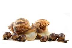 Escargot et sa famille Image stock