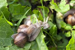 Escargot, fin  Photo stock