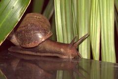Escargot géant Photos stock