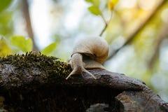 Escargot glissant sur la texture en bois humide Photos stock