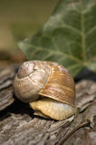Escargot in hiding Royalty Free Stock Photography