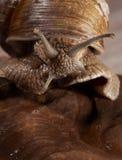 Escargot macro portrait Stock Image