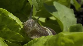 Escargot mangeant de la salade dans le lit augmenté banque de vidéos