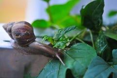 Escargot mangeant des feuilles de vert dans un jardin Photographie stock libre de droits