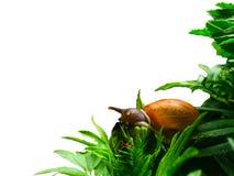 Escargot mangeant l'arbre Photographie stock libre de droits