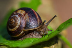 Escargot marchant sur la feuille Photo stock