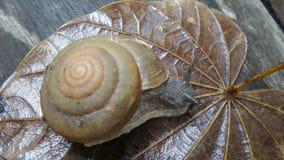 Escargot marchant sur la feuille humide après la pluie Photos libres de droits