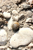 Escargot marin images stock
