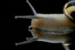 Escargot mignon Escargot de jardin d'isolement sur le noir Plan rapproché Escargot de jardin sur le fond réfléchi noir Images libres de droits