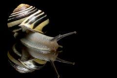Escargot mignon Escargot de jardin d'isolement sur le noir Plan rapproché Escargot de jardin sur le fond réfléchi noir Photographie stock