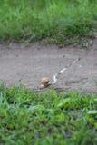 Escargot partant d'une traînée Photographie stock libre de droits