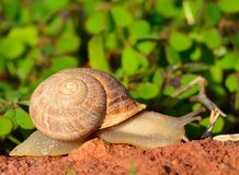 Escargot passant une roche Photo libre de droits