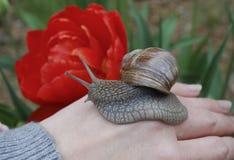 Escargot (pomatia d'hélice) rampant en main Photo stock